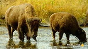 The Last Buffalo